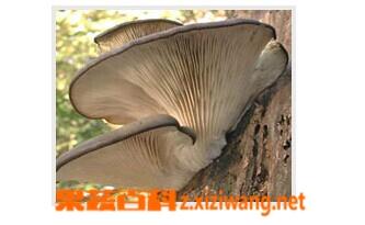 果蔬百科凤尾菇